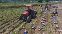 Adana'nın Bu Yılki Patates Hasadı 230.000 Ton!